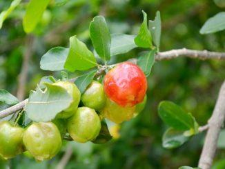 Acerola Kirschen