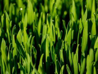 Weizengras, Weizengraspulver