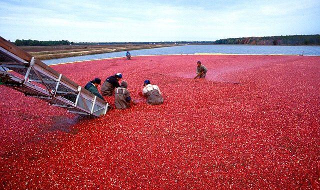 Cranberries Moosbeeren
