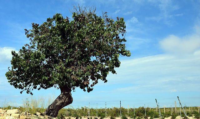 Morus alba (Maulbeerbaum)