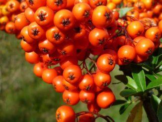 Sanddornöl Rote Schlehe Weidendorn