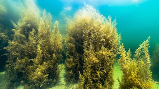 Kelp Algen
